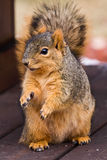 Cute Fox Squirrel Begging For Food royalty free stock photo