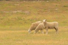 Cute fram sheep on green glass. New Zealand fram animal stock photos