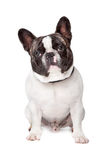 Cute French Bulldog Stock Photos