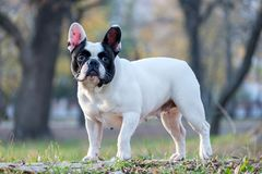 The cute French Bulldog. In autumn outdoor grass Royalty Free Stock Photo