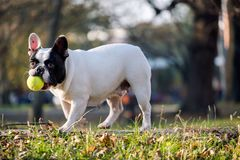 The cute French Bulldog. In autumn outdoor grass Stock Image