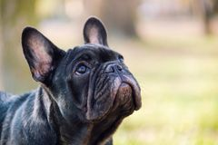 The cute French Bulldog. In autumn outdoor grass Royalty Free Stock Photography