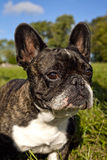Cute french bulldog with blue sky, vertical Stock Image