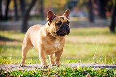 The cute French Bulldog. In autumn outdoor grass Royalty Free Stock Photos