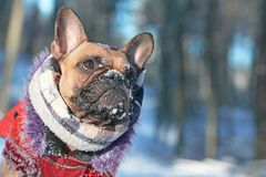 French Bulldog dog with snow on nose wearing warm winter coat with fur collar and scarf in front of blurry winter forest