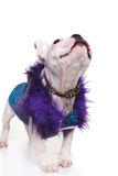 Cute french bulldog dressed in a purple fur coat looking up Royalty Free Stock Images