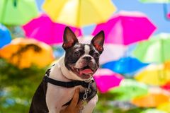 Cute French Bulldog Stock Photography
