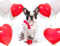 Cute dog with heart shape balloons. Cute french bulldog with heart shape balloons for valentines Stock Images
