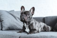 Cute french bulldog lying. On grey sofa royalty free stock image