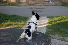 Cute french bulldog having a bath in the city fountain on a hot spring day royalty free stock images