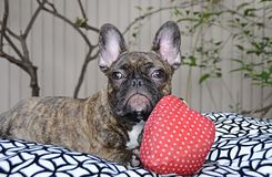 Cute French Bulldog Puppy With Allergies Royalty Free Stock Images