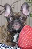 Cute French Bulldog Puppy With Allergies 002 Stock Photos
