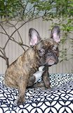Cute French Bulldog Puppy With Allergies. NEW YORK CITY - MAY 2014:  Sad French Bulldog puppy with ear allergies outside in a garden in Manhattan on May 25, 2014 Stock Images