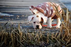 Curious puppy with a sweater on a cold day. Cute French bulldog puppy looking around on a cold day. The dog wears a sweater to keep warm royalty free stock image