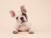 Cute French bulldog puppy lying down seen from the front on a creme colored background royalty free stock photo