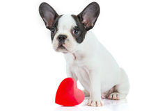 Cute french bulldog puppy with red heart Stock Photography