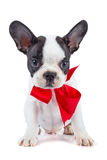 Cute french bulldog puppy with red ribbon Royalty Free Stock Photography
