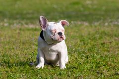 Cute French Bulldog Puppy Relaxing Stock Images