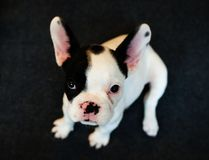 Cute french bulldog puppy looking straight at you royalty free stock image