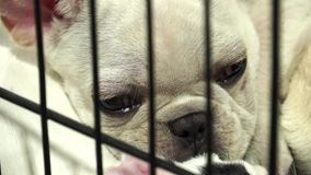 Cute french bulldog pups inside a cage on display for sale Stock Photography