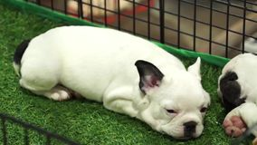 Cute french bulldog pups sleeping inside a cage on display for sale stock video