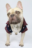 Cute french bulldog with a shirt Royalty Free Stock Images