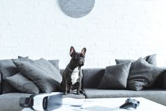 Cute french bulldog sitting on sofa by table. With digital gadgets stock photo