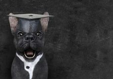 Funny Teacher Dog, Education, Chalkboard, Learning. Cute French bulldog wearing a teacher hat. The pet dog is all about learning and education at school. Write a stock photography