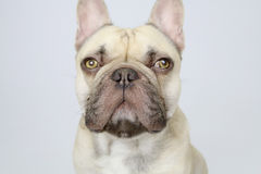 Cute french bulldog Royalty Free Stock Images