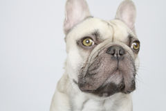 Cute french bulldog Stock Image