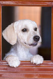 Cute French poodle looking anxiously through window Stock Photos