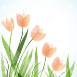 Cute and fresh tulip flowers Stock Image