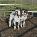 Australian Shepherd Puppy and Goat Kid in a Corral royalty free stock photography