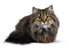 Cute friendly classic tabby Siberian cat kitten on white background royalty free stock images
