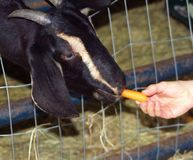 RESCUE GOAT AT SANCTUARY BEING FED. Cute and friendly goat eating carrots from a visitor Royalty Free Stock Photos