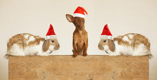 Cute friends puppy and rabbits  in Santa hat Stock Photo