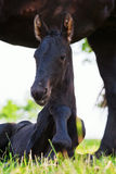 Cute Friesian foal lies in front of the mother Stock Photos