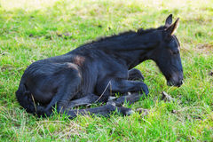 Cute Friesian foal. Lying on the grass Stock Photography
