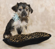 Cute Frlly Morkie Puppy Royalty Free Stock Images