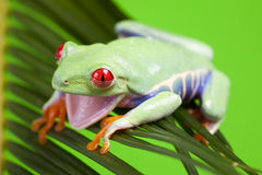 Cute Frog Royalty Free Stock Images