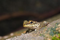 A cute frog. A photo of frog, amolops larutensis shot near a stream in rainforest Stock Photos
