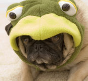 Cute Frog Pug Royalty Free Stock Images