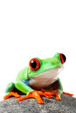Cute frog on a rock isolated white Stock Photos