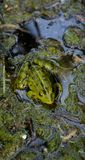 Cute frog sitting on a dirty algae, which reflects on the meaning of life. Royalty Free Stock Photos
