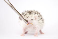 Cute and fun young rodent hedgehog baby background Stock Image