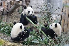 A Gangs of Giant Pandas are Eating Bamboo Leaves with her Cub, Chengdu , China. Cute and Funny Action of Giant Panda in Chengdu, China, Playing Stock Images