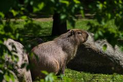 Cute and funny animal capybara or water pig the biggest rodent stock photo