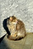 Sly fluffy cat with yellow eyes. royalty free stock photography