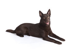 Cute and funny australian Kelpie stock image