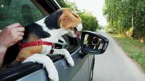 Cute funny beagle dog looks out the window of the car on a trip. Ears and tongue fluttering in the wind stock video